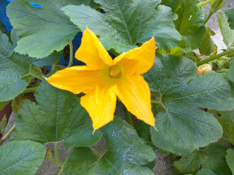 Five-pointed squash flower #toronto #dovercourtvillage #garden #yellow #squash #flowers