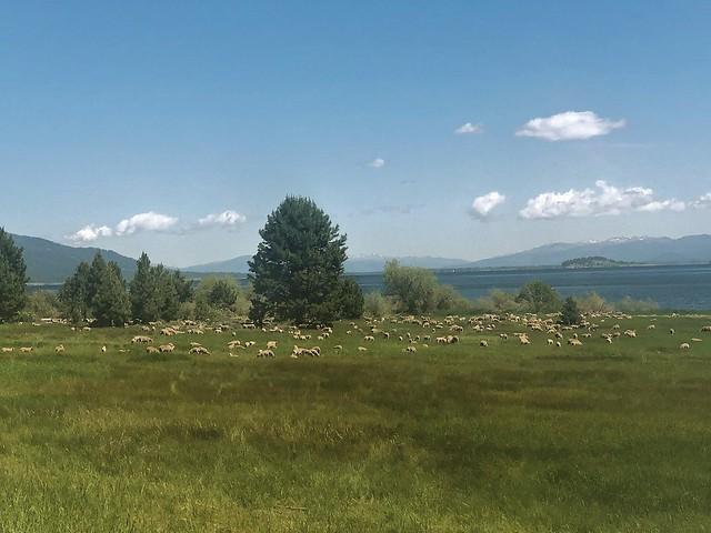 Sheep grazing on the Boise National Forest