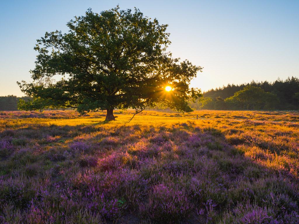 Sunrise behind an oak tree