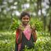 Belgaon Tea Estate - Chandpur, Bashkhali, Chittagong -  বেলগাঁও চা বাগান - বাঁশখালী by Zakir_Hossain