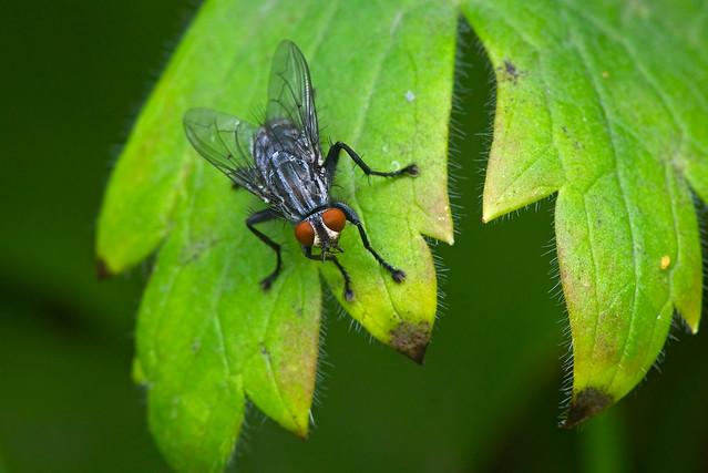 2007_1447 Flesh Fly