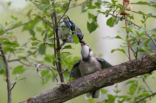 Adult Blue Jay feeding fledgling
