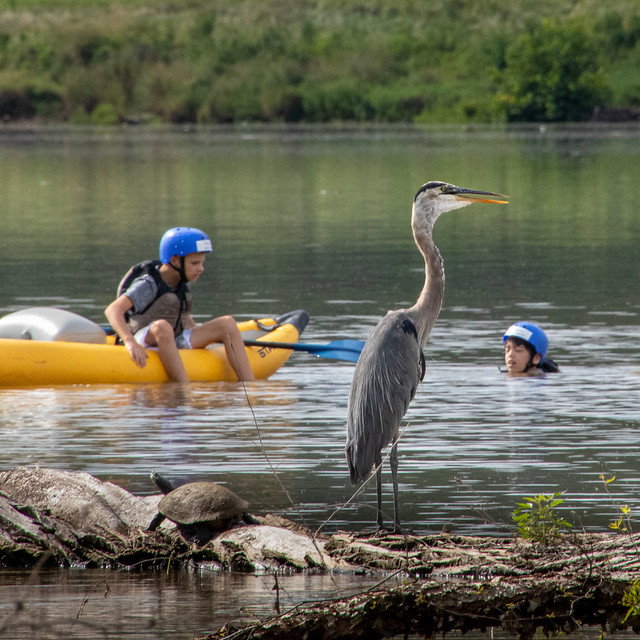 Calm Blue Heron meets swimmers