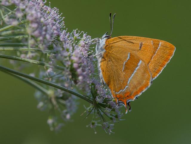 Brown Hairstreak female, nectaring on Angelica. Grafton Wood, Worcestershire.  DSC_8889.jpg