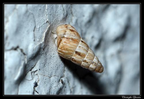 Cornet étroit (Cochlicella acuta)