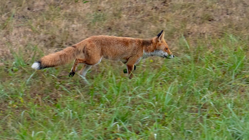 La course du renard à travers les champs... 50199598322_e3f7ea2b5e_b