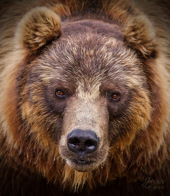 Kamtschatkabär, Kamchatka bear