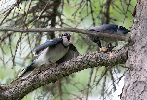 Baby Blue Jay begging from parent