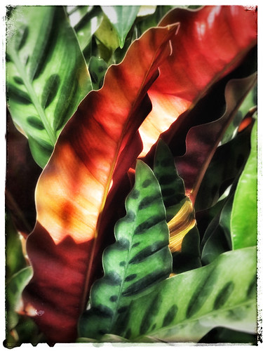 Calathea lancifolia, the Rattlesnake Plant, a member of the Maranta or Prayer Plant family Marantaceae, run through the photo app Snapseed