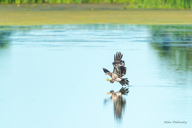 Juvenile Bald Eagle snagging a fish....