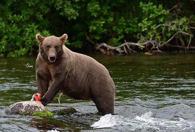 Brown Bear Enjoying Her Fresh Salmon - 7015b+
