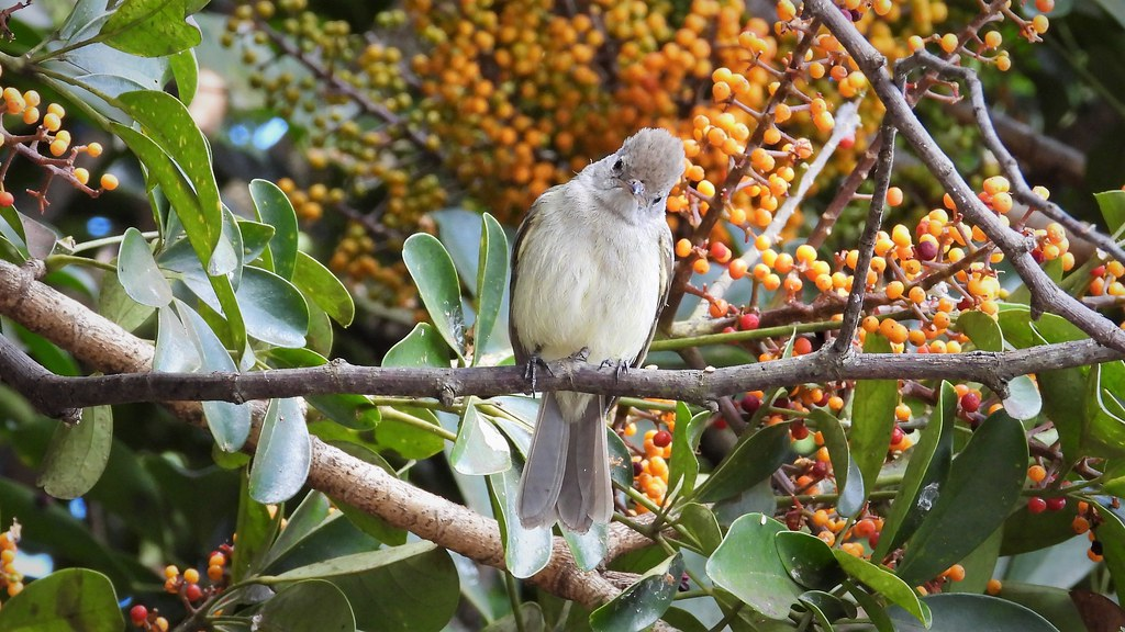 Elaenia - Yellow-bellied Elaenia