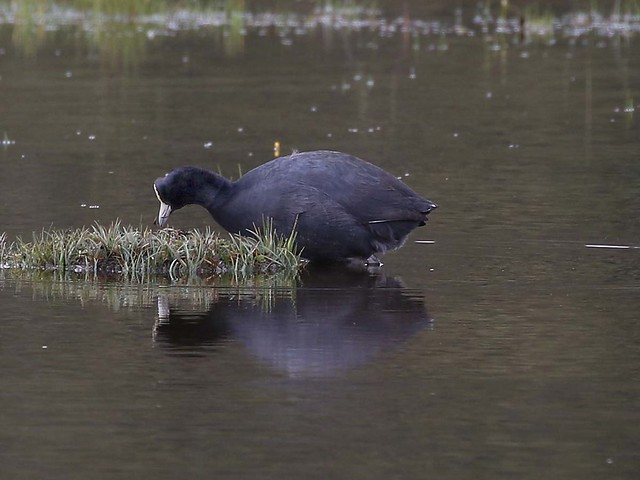 Andean Slate-Coloured Coot _T9A4160