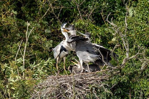 Grey Heron feeding fest | by Steve (Hooky) Waddingham