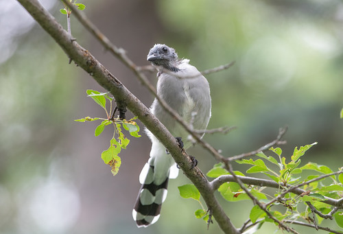 Molting adult Blue Jay