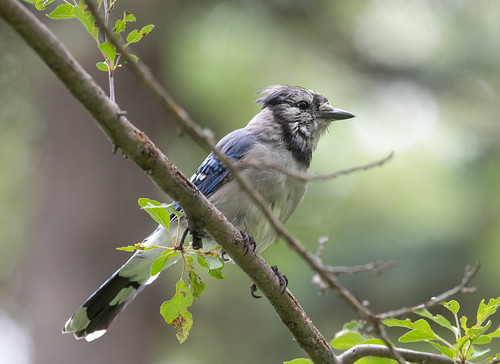 Blue Jay adult molting