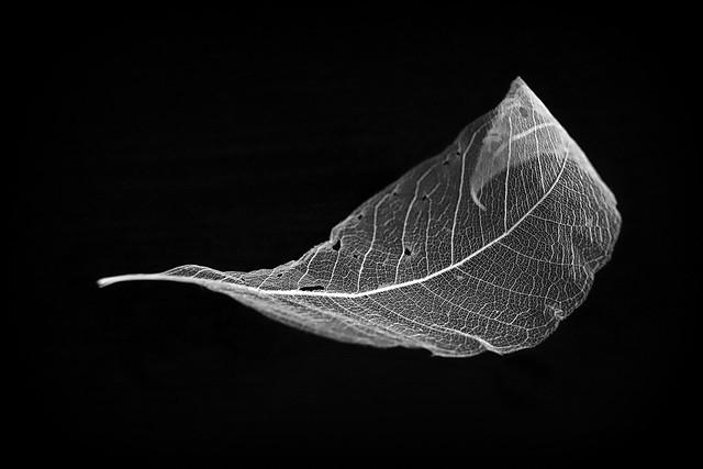 B & W skeleton leaf