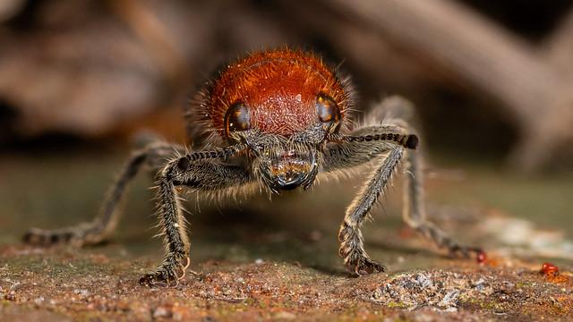 Checkered Beetle Portrait