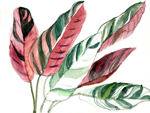 Watercolour sketch of Stromanthe sanguine 'Triostar', a member of the Maranta or Prayer Plant family Marantaceae