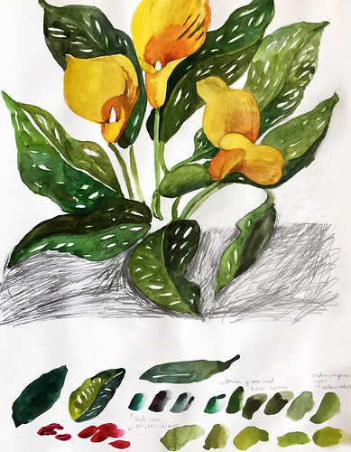 Watercolour painting in a sketch book of yellow Calla lilies, with colour mixing samples