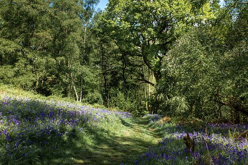 sigma2470mmf28 trees summer bowdownwoods woods canon7d woodland may bluebells shadows thatcham england unitedkingdom landscape