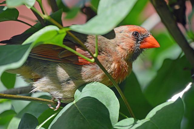 Mother Cardinal guarding her nest