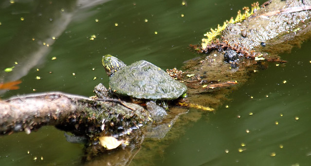 Baby River Cooter