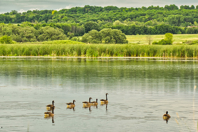 Canada Geese at Horicon Marsh, Wisconsin