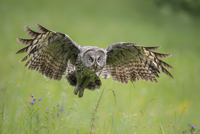 Great Grey Owl  乌林鸮