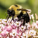 Brown-belted Bumblebee on Swamp Milkweed