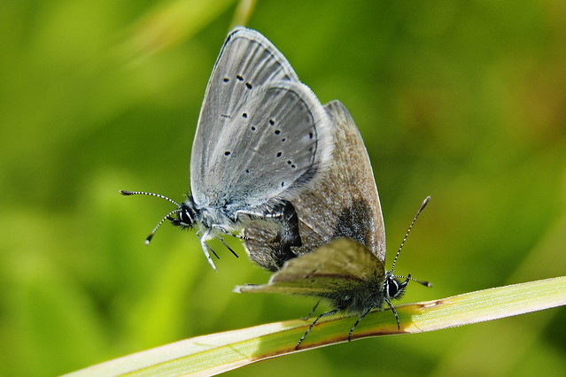 Small Blues mating