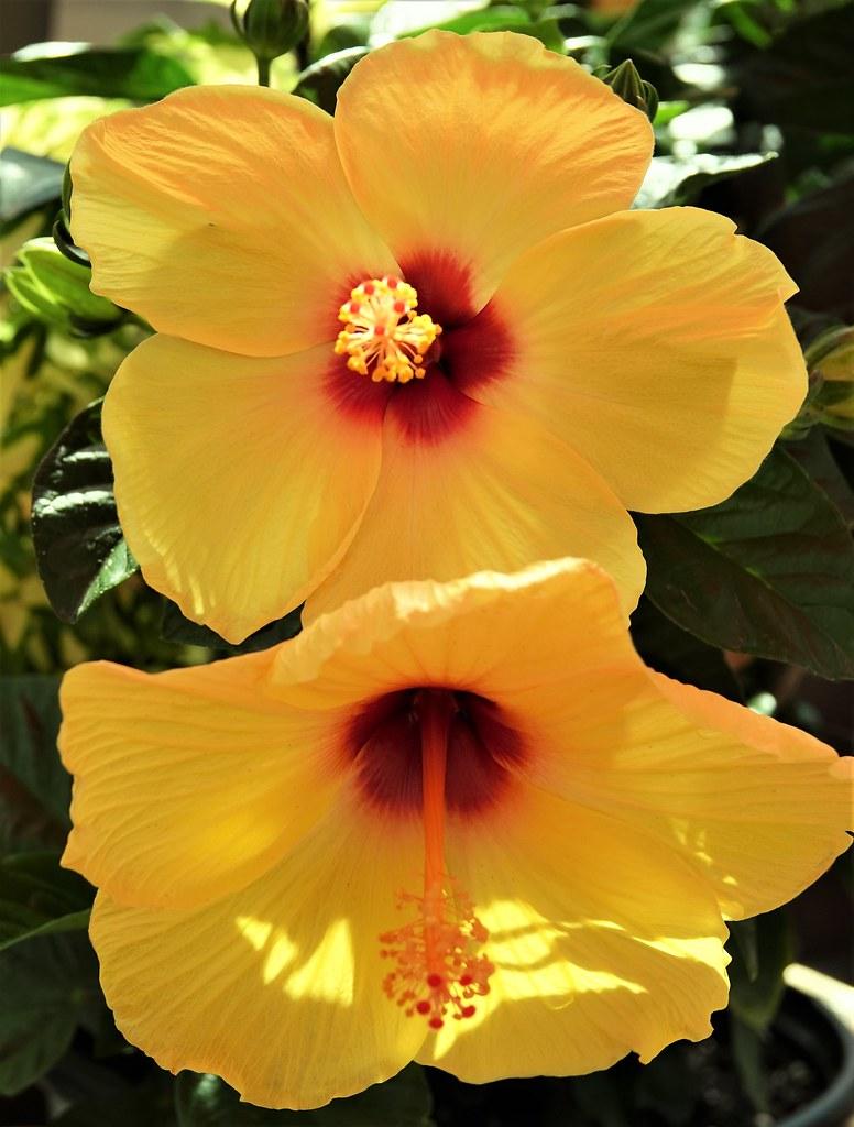 Dans un jardin. In a garden. Deux fleurs d'hibiscus jaunes au coeur 💔. Beautiful!
