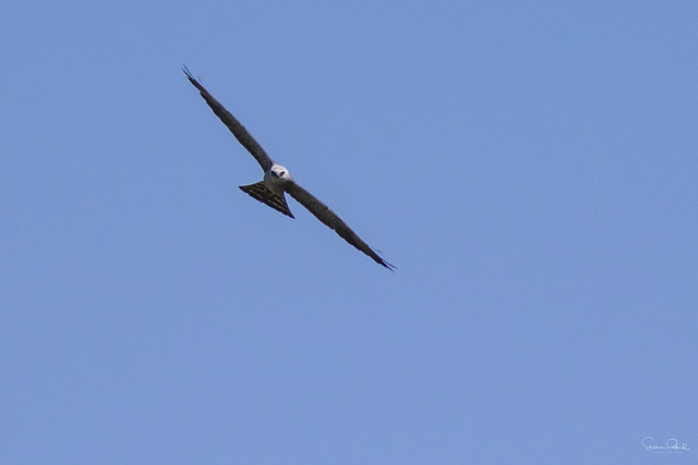 Mississippi Kite Soaring