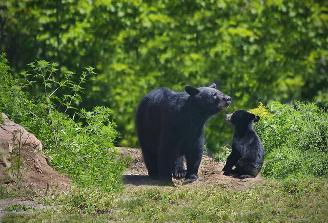 Black Bear Sow with Cub
