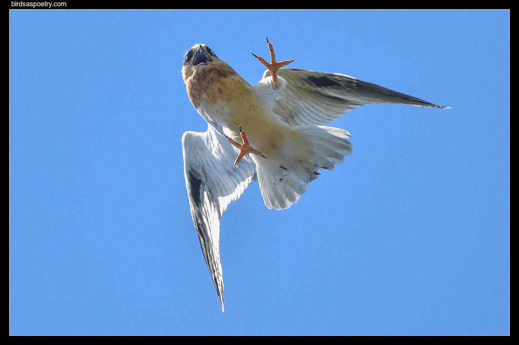 Black-shouldered Kite: Incoming