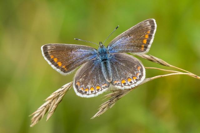 Female Common Blue..........