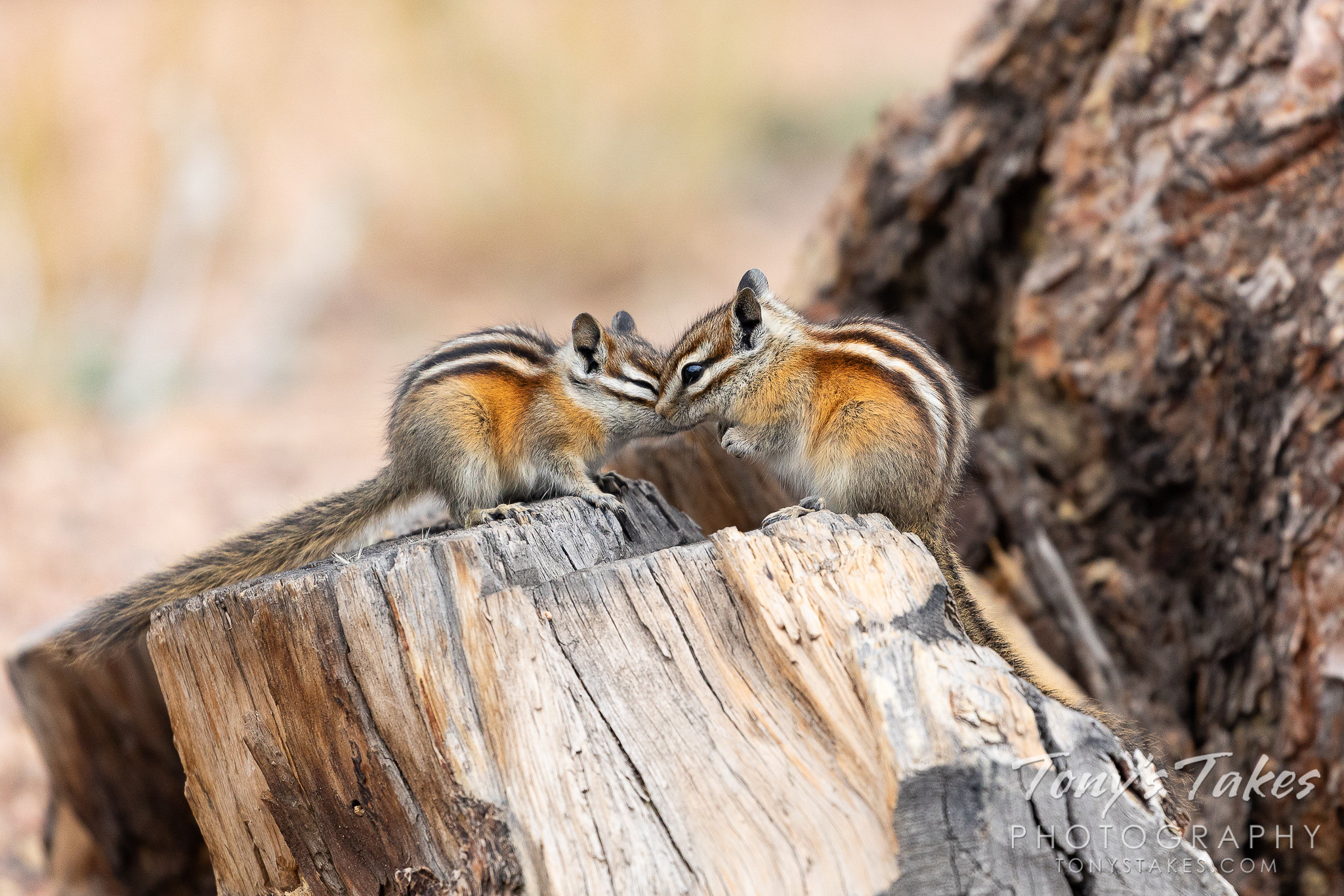 Snuggling chipmunks