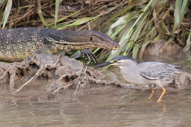 Water Monitor and Striated Heron