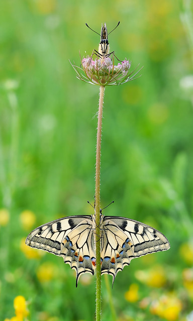 top or bottom? Papilio machaon