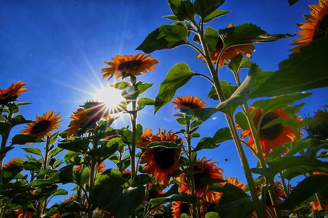 Unterschiedliche Sonnenblumen