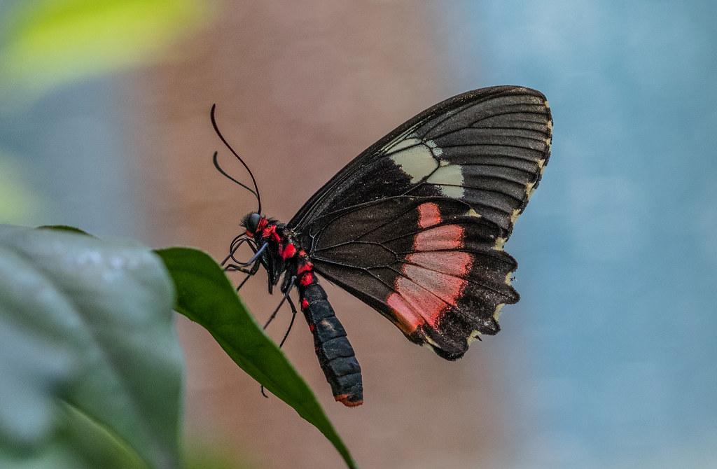 Parides iphidamas butterfly