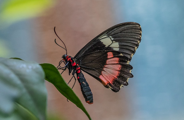 Parides iphidamas butterfly