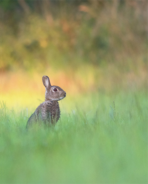 Wild Rabbit (explored)