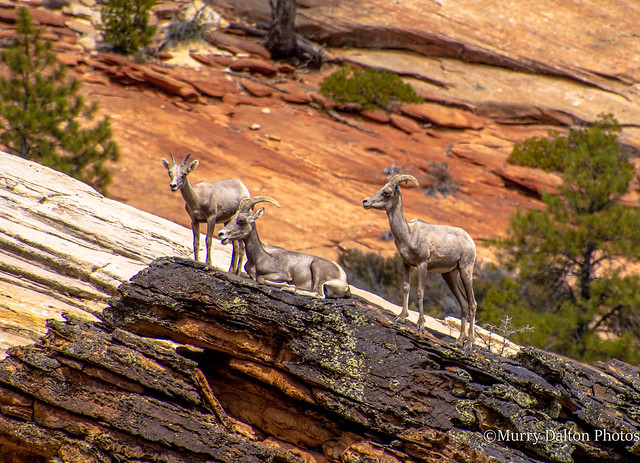 Big Horn Sheep IMG_1673