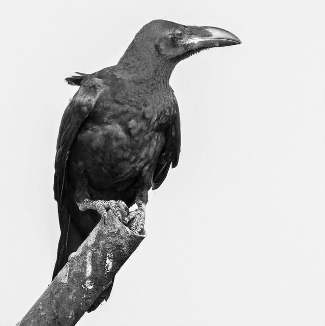 Large-billed crow. ( Also jungle crow ) Corvus macrorhynchos