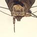 The Spectacle (Abrostola tripartita)