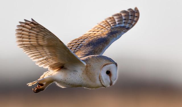 Barn Owl - Close Encounter
