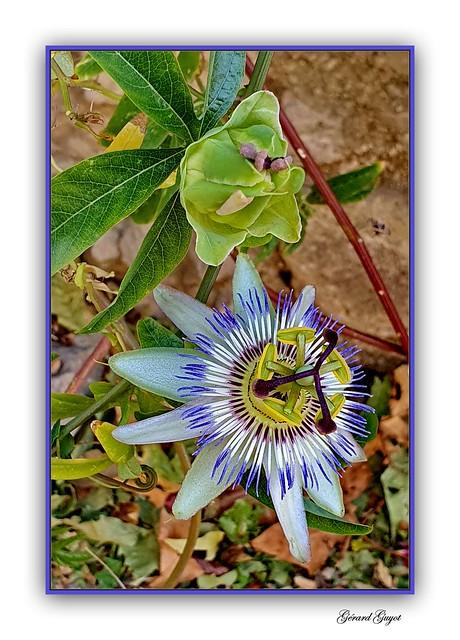 Passiflora caerulea bleu