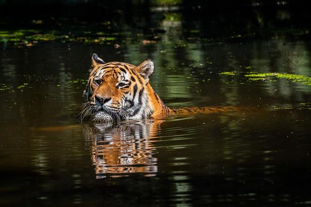 Tiger Jegor kühlt sich ab