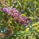 Bokeh Buddleia & Bee